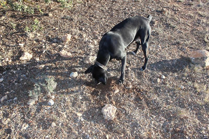perros-truferos