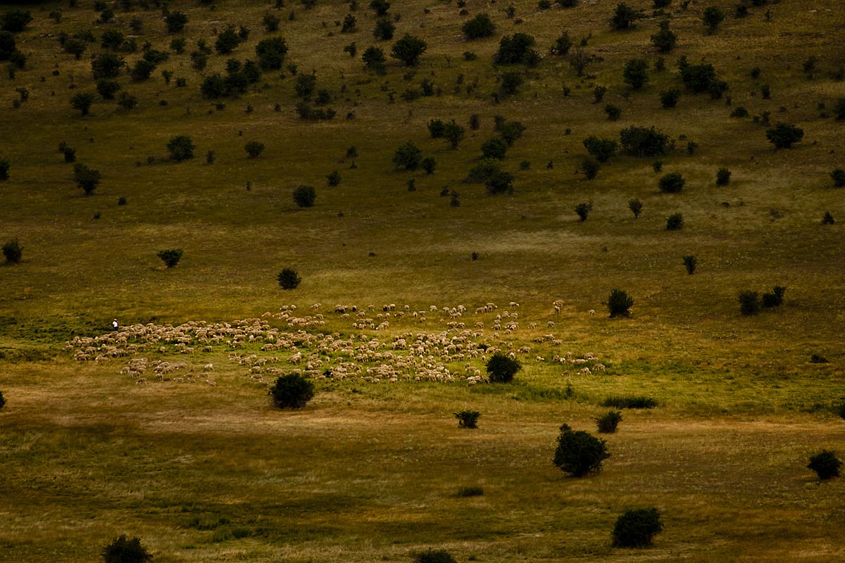 Rebaño ovejas. Trufas del Señorío.  Zona de trufa negra